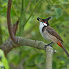 Red-whiskered Bulbul<br /> Los Angeles Arboretum<br /> March 26, 2014