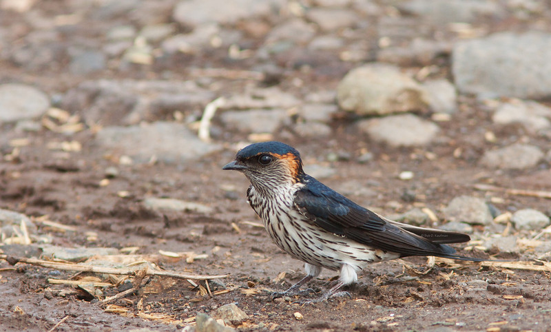 Striated Swallow<br /> Los Banos, Apr. 30, 2011