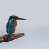Common Kingfisher<br /> Candaba, Jan. 13, 2012