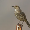 Sage Thrasher<br /> San Jacinto Wildlife Area