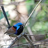 Variegated Fairy-Wren<br /> Sydney<br /> October 13, 2016