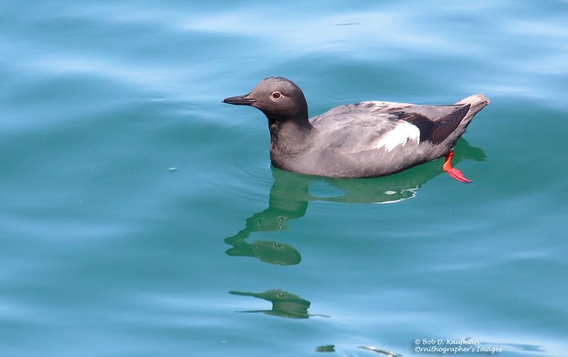 Pigeon Guillemot<br /> Monterey<br /> March 30, 2016
