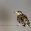 Western Meadowlark<br /> San Jacinto Wildlife Area<br /> February 11, 2006