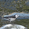 White Wagtail<br /> LMEP<br /> December 14, 2011