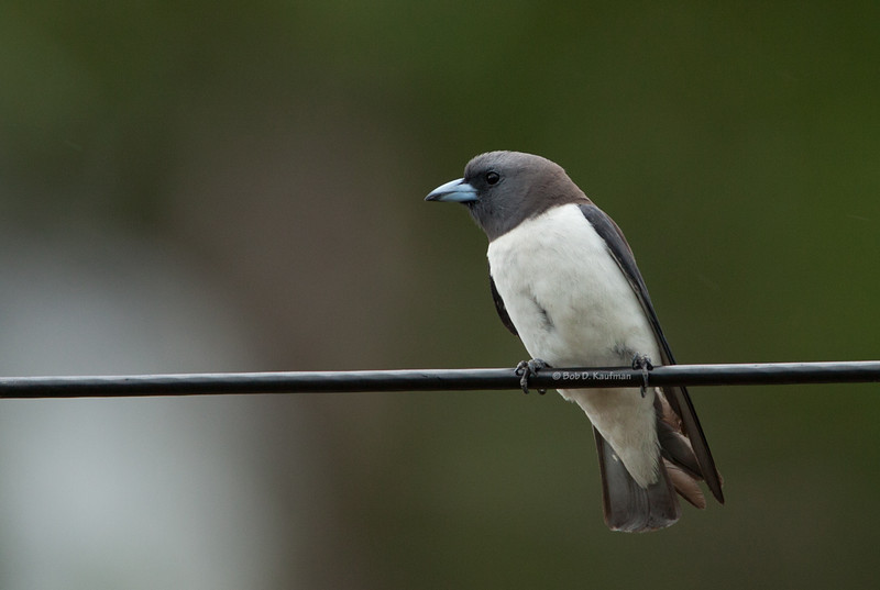 White-breasted Wood Swallow<br /> Subic, May 27, 2011