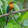 Rufous Motmot<br /> Costa Rica<br /> March 6, 2018