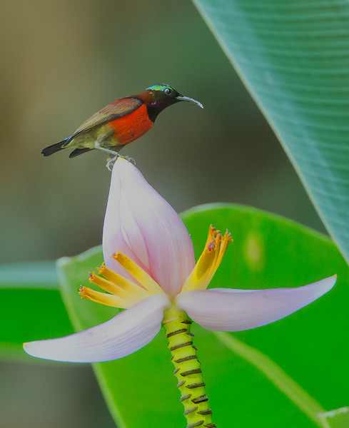 Purple-throated Sunbird<br /> UPLB, May 17, 2014
