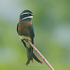 Whiskered Treeswift<br /> Mt. Palay-palay<br /> August 2010