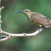 Thick-billed Spiderhunter<br /> Sepilok, August 10, 2013