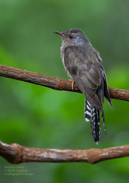 Plaintive Cuckoo<br /> Coron, Oct. 10, 2012