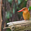 Ruddy Kingfisher<br /> Davao<br /> March 16, 2014