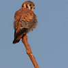 American Kestrel (Falco sparverius sparverius)<br /> Peck's Pit,<br /> December 3, 2005