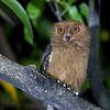 Philippine Scops Owl<br /> La Vista<br /> April 21, 2012