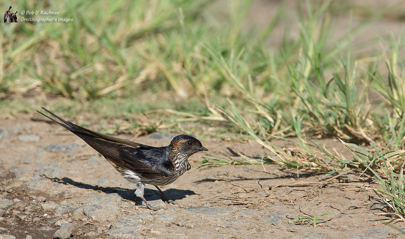 Striated Swallow<br /> UPLB, May 17, 2014