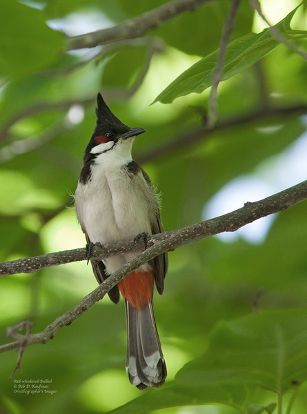 Red-whiskered Bulbul<br /> Honolulu Airport<br /> March 26, 2012