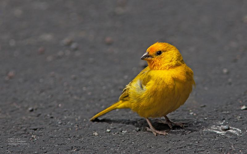 Saffron Finch<br /> Bird Park, Big Island<br /> March 27, 2012