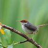 Rufous-tailed Tailorbird<br /> Puerto Princesa, June 25, 2012