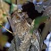 Philippine Scops Owl<br /> La Vista, Mar. 7, 2013