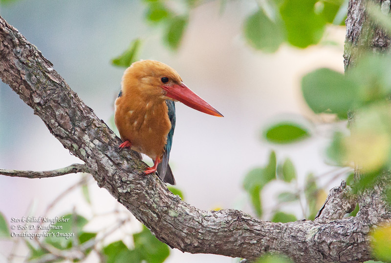 Stork-billed Kingfisher<br /> Coron, Oct. 9, 2012