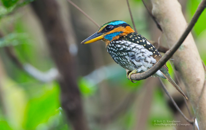 Spotted Wood Kingfisher<br /> LMEP<br /> October 15, 2013