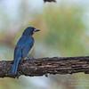 Mangrove Blue Flycatcher<br /> Palos Verdes<br /> May 5, 2012