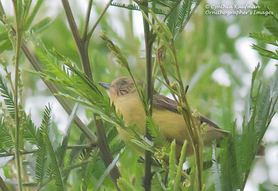 Acanthiza nana - Yellow Thornbill