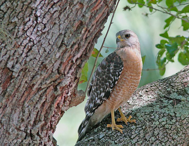 Buteo lineatus - Red-shouldered Hawk