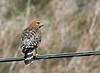 Red-shouldered Hawk - alleni ssp