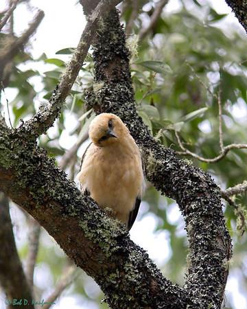 Hawaiian Hawk - immature