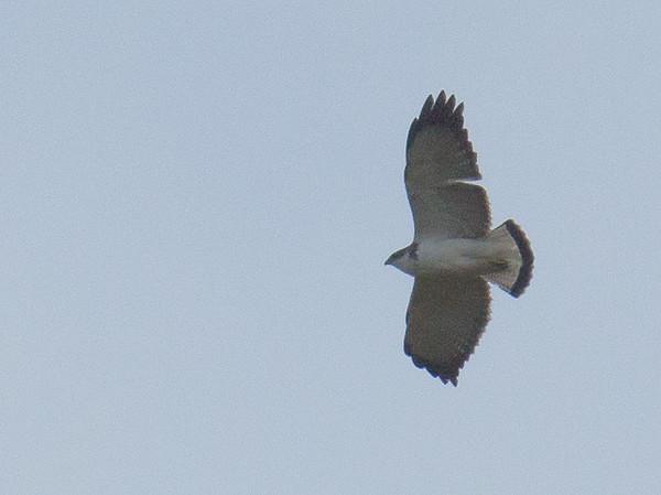 Variable Hawk - poecilochrous ssp