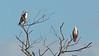 Brahminy Kites - intermedius ssp