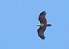 Brahminy Kite - intermedius ssp