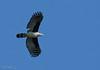 Grey-headed Kite - cayanensis ssp