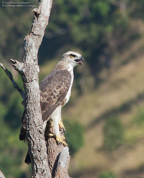 Changeable Hawk-Eagle - limnaeetus ssp