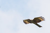 Crested Honey Buzzard - philippensis ssp