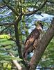 Philippine Serpent Eagle - immature