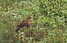 Philippine Serpent Eagle