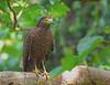 Philippine Serpent Eagle - adult