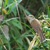 Clamorous Reed Warbler - harterti ssp