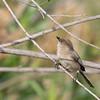 American Bushtit - californicus ssp - female