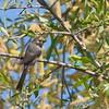 American Bushtit - californicus ssp