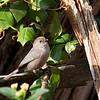 American Bushtit - californicus ssp - male