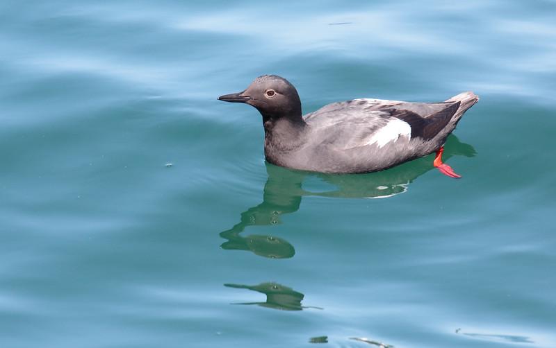 Pigeon Guillemot - eureka ssp