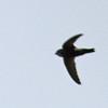 House Swift - nipalensis ssp