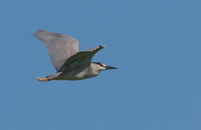 Ardeidae - Herons, Bitterns