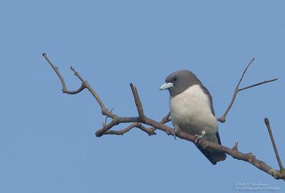 Artamus leucorhynchus - White-breasted Woodswallow