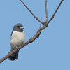 White-breasted Woodswallow - leucorhnychus ssp