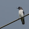 White-breasted Woodswallow - leucorhnynchus ssp