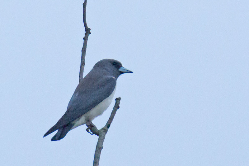 White-breasted Woodswallow - leucorhynchus ssp