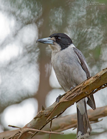 Cracticus torquatus - Grey Butcherbird